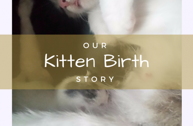 Our rescue cat's kitten birth story - as it was our stray rescue cat's first litter, she didn't know what to do... so nearly gave birth to her kittens on our sofa.