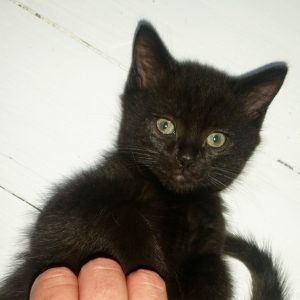 Our dark brown male kitten, Bear.