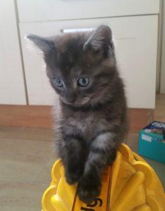 Apollo, our gorgeous grey tabby kitten.