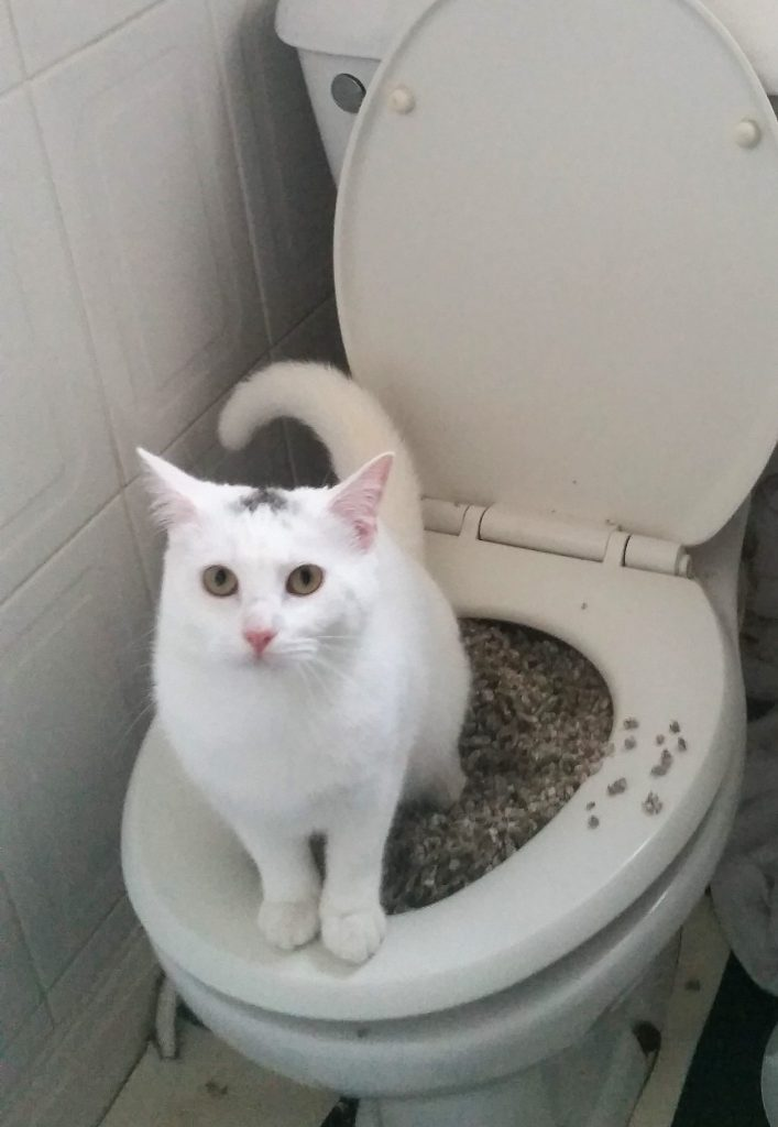 Our youngest cat, Mohawk, learning to use the toilet.