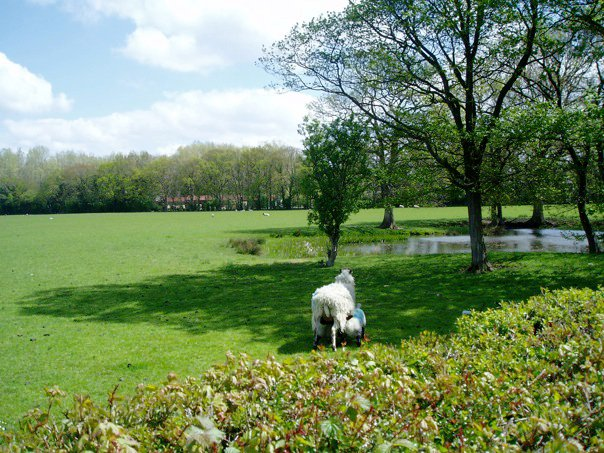 Sheep and lambs in Kent. Moving to the country.